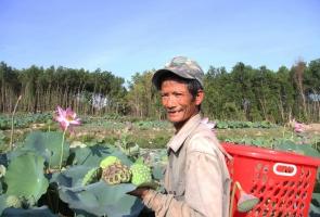 Rộn ràng mùa thu hoạch sen Duy Sơn