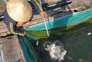 Cá lồng bè ở hồ thủy điện Sông Tranh 2 chết liên tục