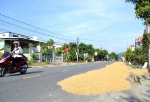 Phơi lúa trên tỉnh lộ 616