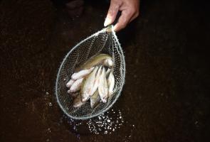 Một đêm theo chân thợ săn cá niên sông Tranh