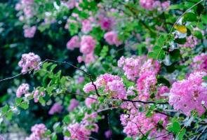 Ngắm hoa Tường Vi đẹp mỏng manh giữa nắng hè