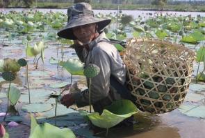 TAM KỲ- Người dân vào vụ thu hoạch sen trên sông Đầm