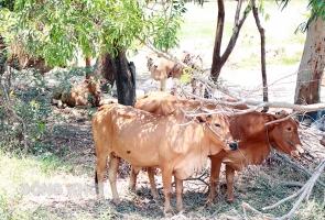 Phú Ninh, Thăng Bình xuất hiện bệnh viêm da nổi cục trên bò