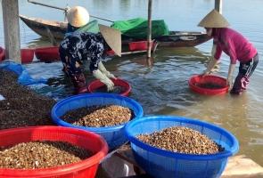 Mùa cào hến trên sông Trường Giang