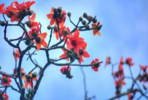 Đẹp ngỡ ngàng mùa hoa gạo tháng 3