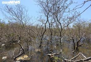 Cận cảnh hàng chục hecta rừng ngập mặn ở Núi Thành chết khô